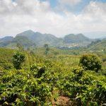 Piantagione di Caffè in Honduras