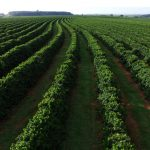 Coffee Plantation in Brasil
