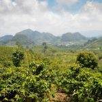 Coffee Plantation in Honduras