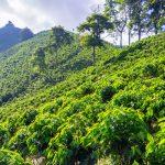 Piantagione di Caffè in Colombia